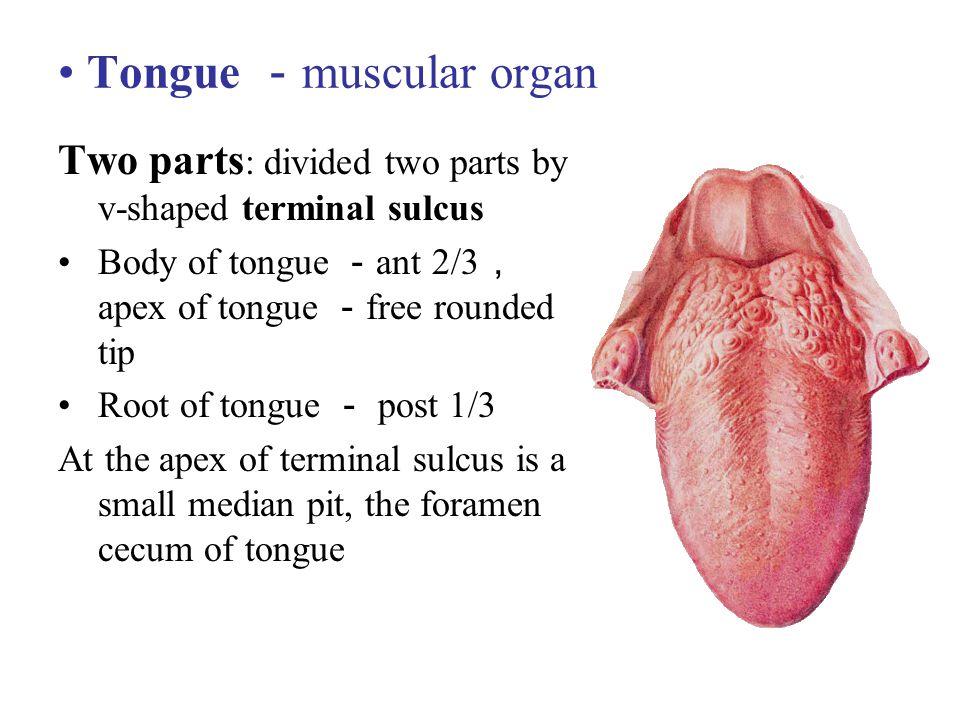 Tongue -muscular organ