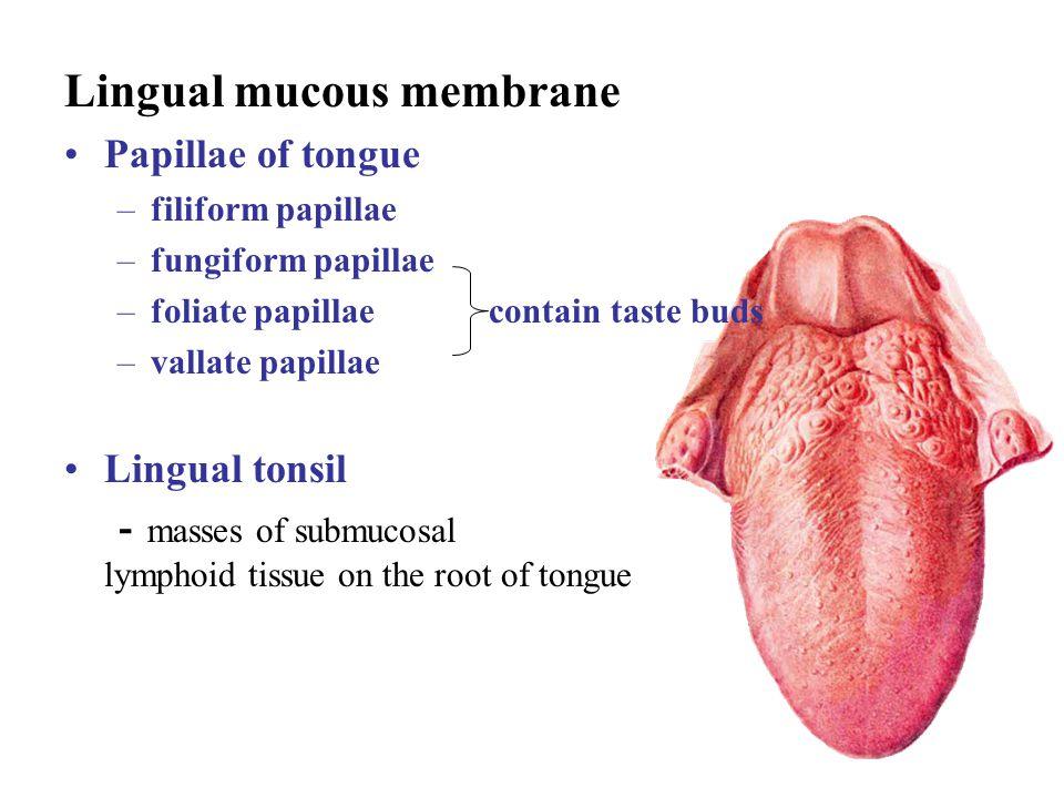 Lingual mucous membrane