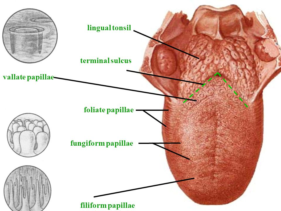 Vallate Papillae And Fungiform Related Keywords Suggestions