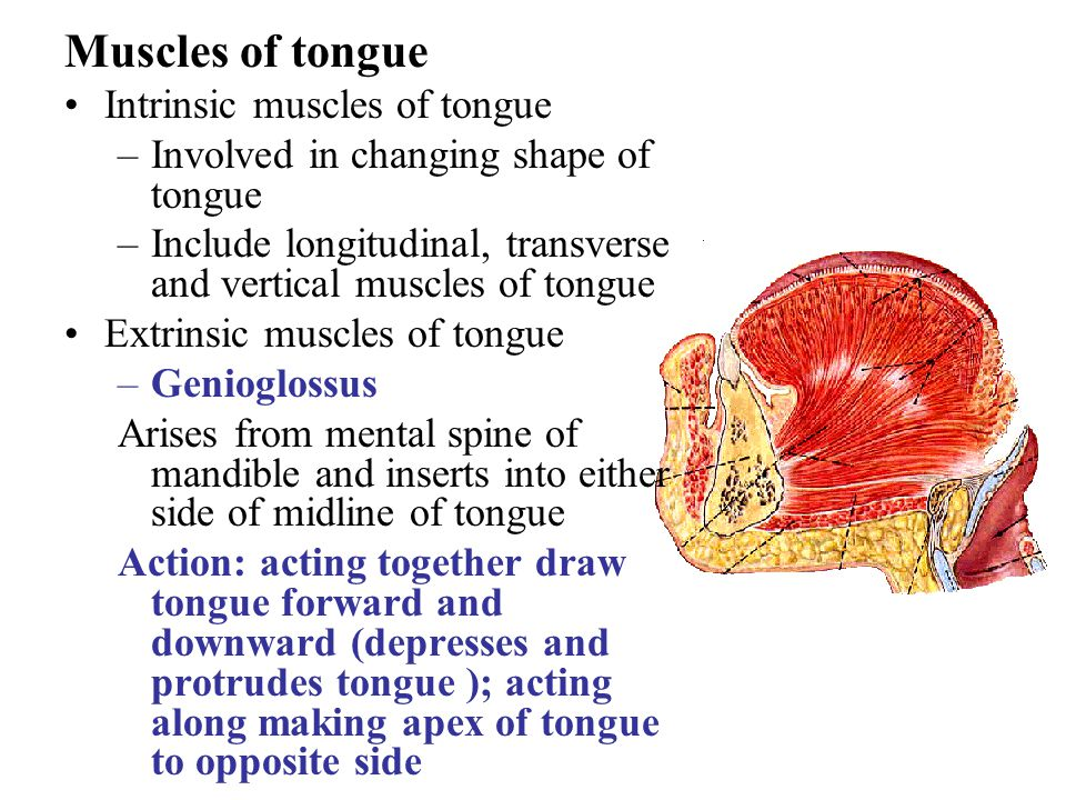 Muscles of tongue Intrinsic muscles of tongue