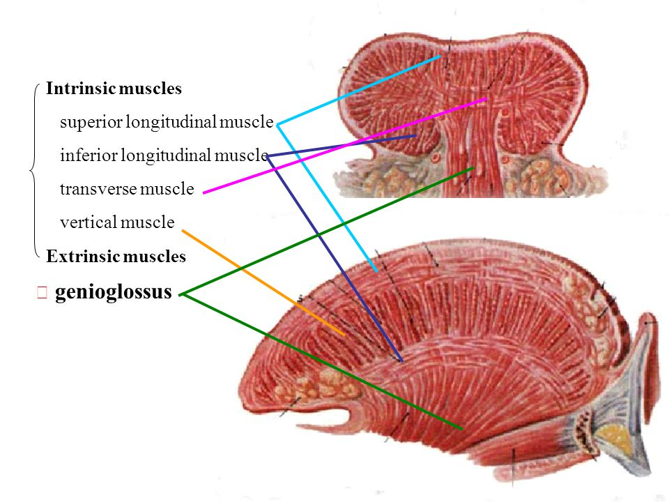 Intrinsic muscles superior longitudinal muscle. inferior longitudinal muscle. transverse muscle. vertical muscle.