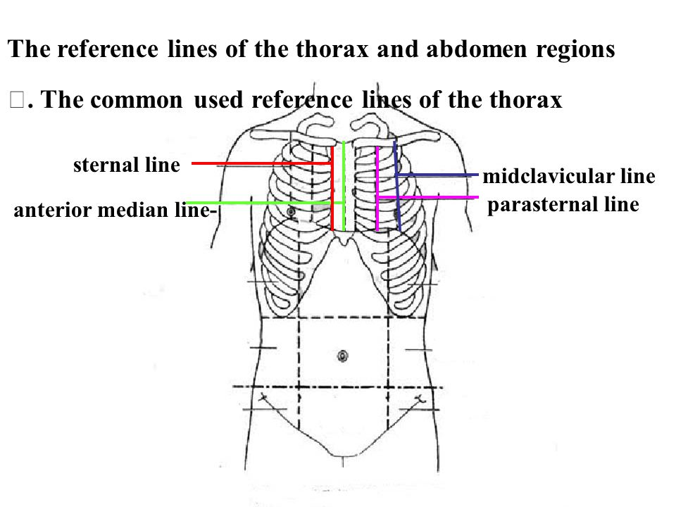 The reference lines of the thorax and abdomen regions