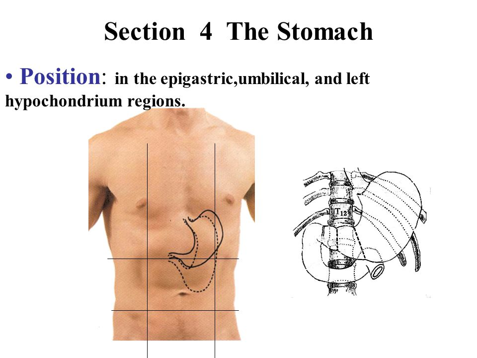 Section 4 The Stomach Position: in the epigastric,umbilical, and left hypochondrium regions.