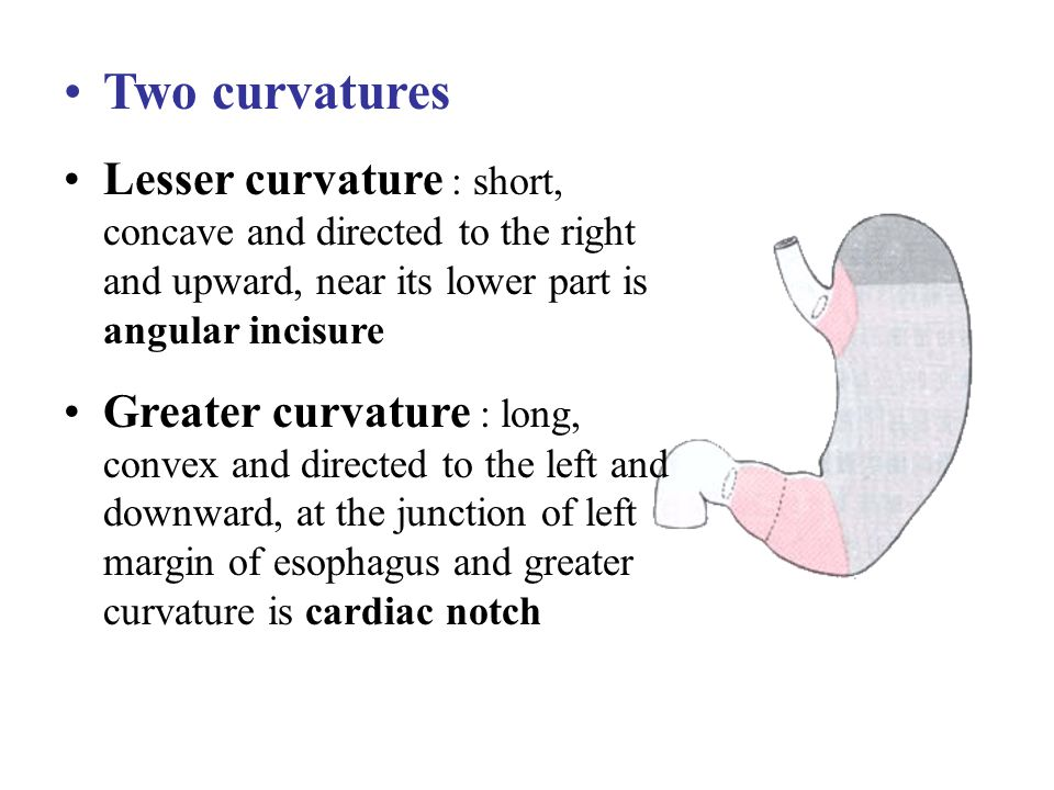 Two curvatures Lesser curvature : short, concave and directed to the right and upward, near its lower part is angular incisure.