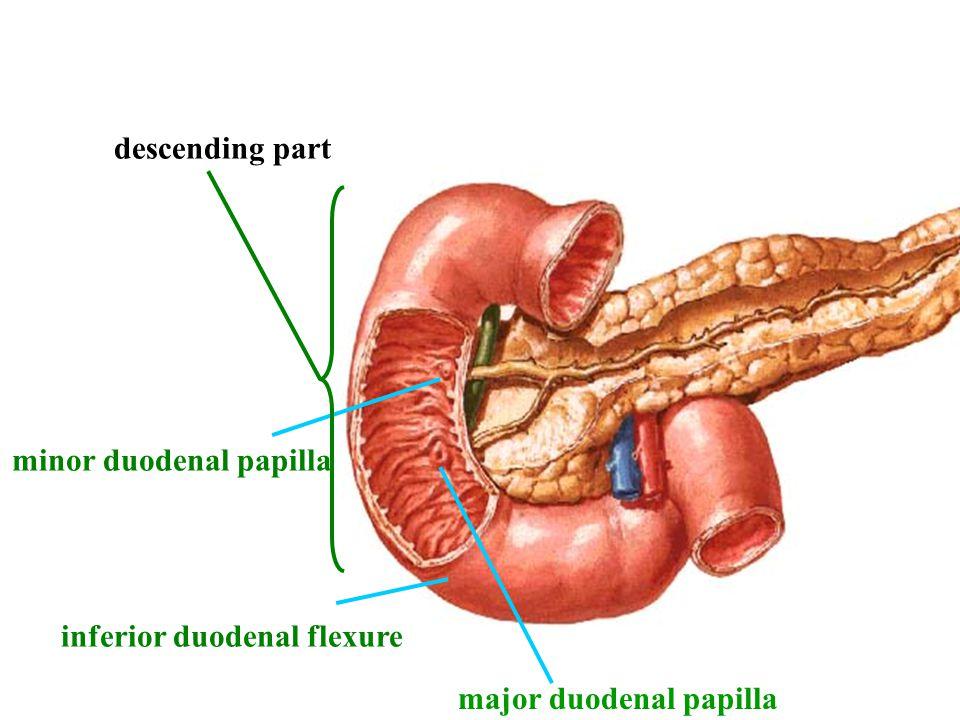minor duodenal papilla