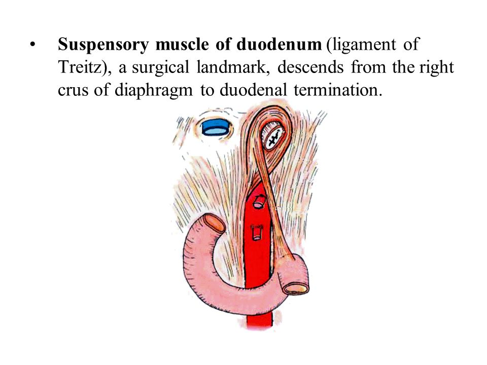 Suspensory muscle of duodenum (ligament of Treitz), a surgical landmark, descends from the right crus of diaphragm to duodenal termination.