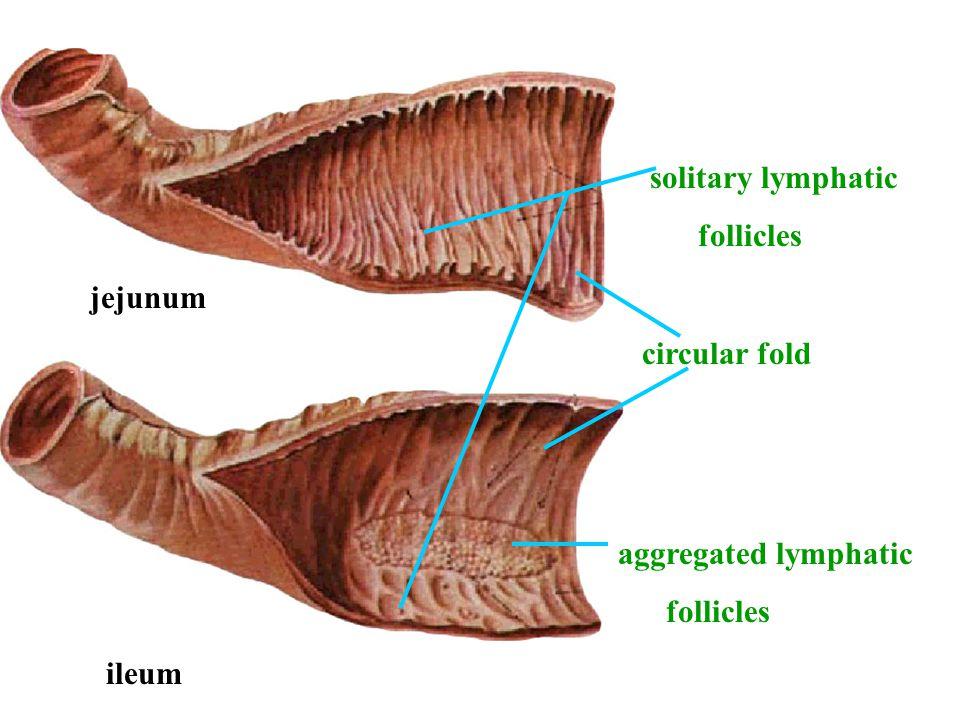 solitary lymphatic follicles jejunum circular fold aggregated lymphatic follicles ileum