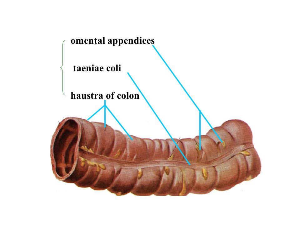 omental appendices taeniae coli haustra of colon