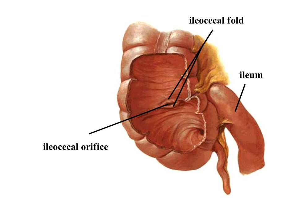 ileocecal fold ileum ileocecal orifice