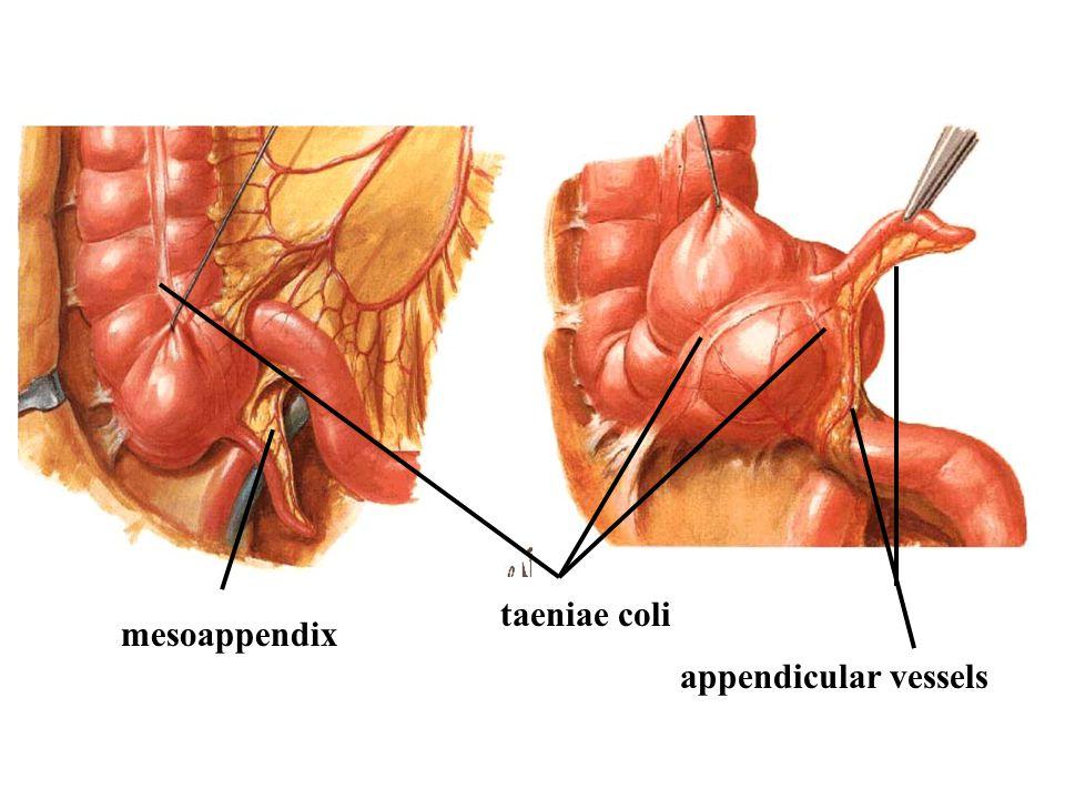 taeniae coli mesoappendix appendicular vessels