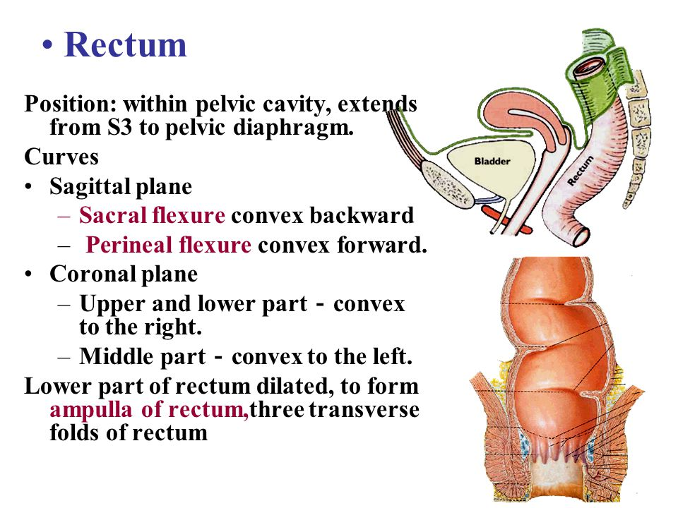 Rectum Position: within pelvic cavity, extends from S3 to pelvic diaphragm. Curves. Sagittal plane.