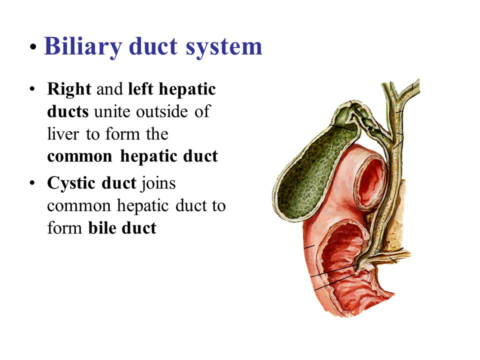 Biliary duct system Right and left hepatic ducts unite outside of liver to form the common hepatic duct.