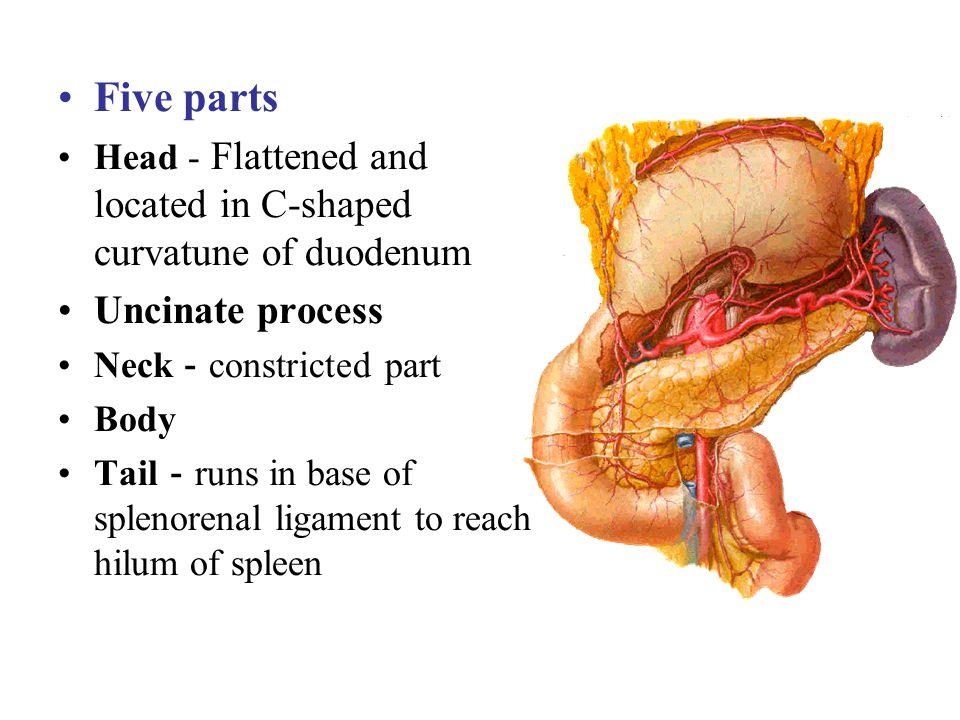 Five parts Uncinate process