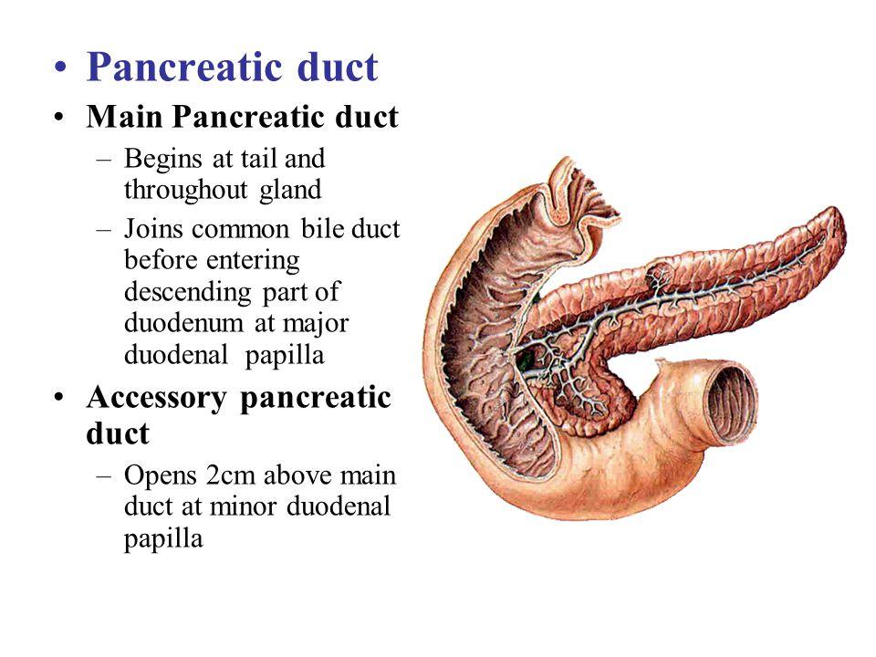 Pancreatic duct Main Pancreatic duct Accessory pancreatic duct