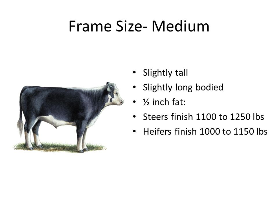 Frame Size- Medium Slightly tall Slightly long bodied ½ inch fat: