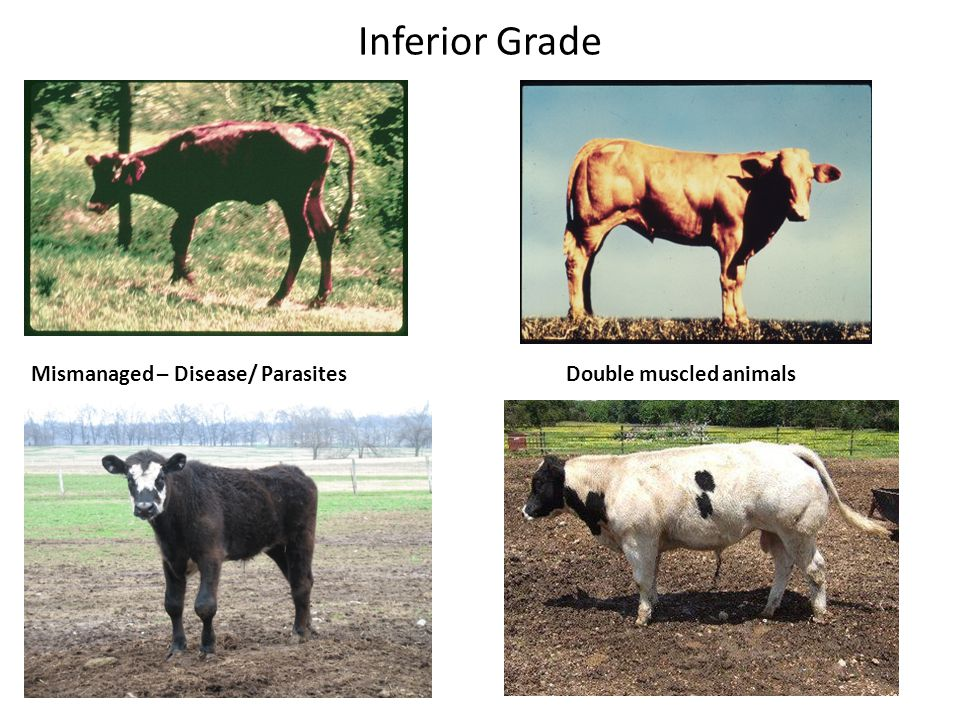 Inferior Grade Mismanaged – Disease/ Parasites Double muscled animals