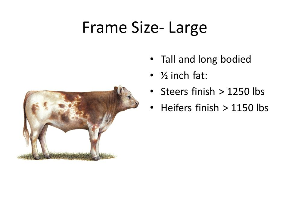 Frame Size- Large Tall and long bodied ½ inch fat: