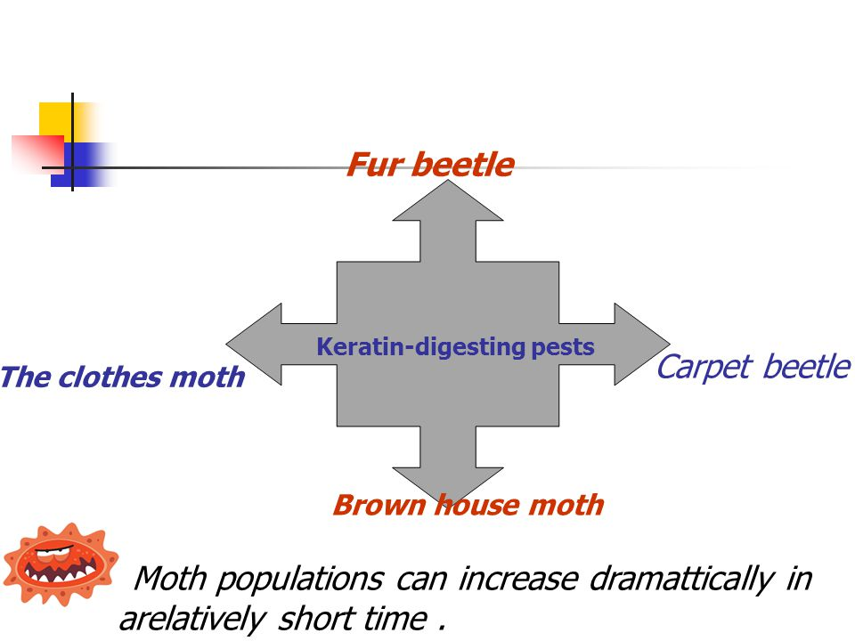 Fur beetle Carpet beetle