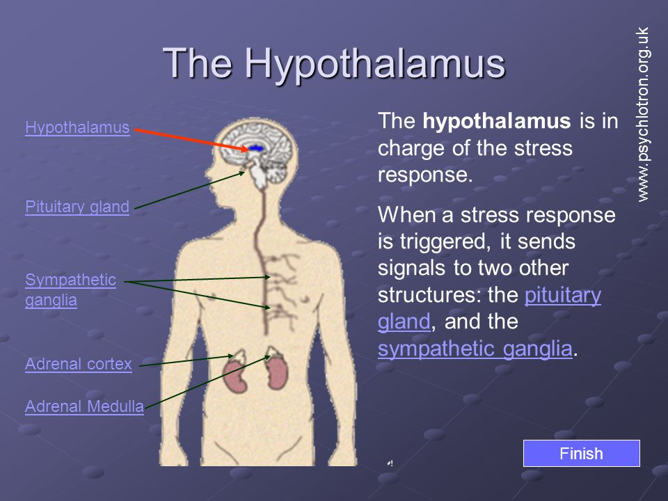 The Hypothalamus The hypothalamus is in charge of the stress response.