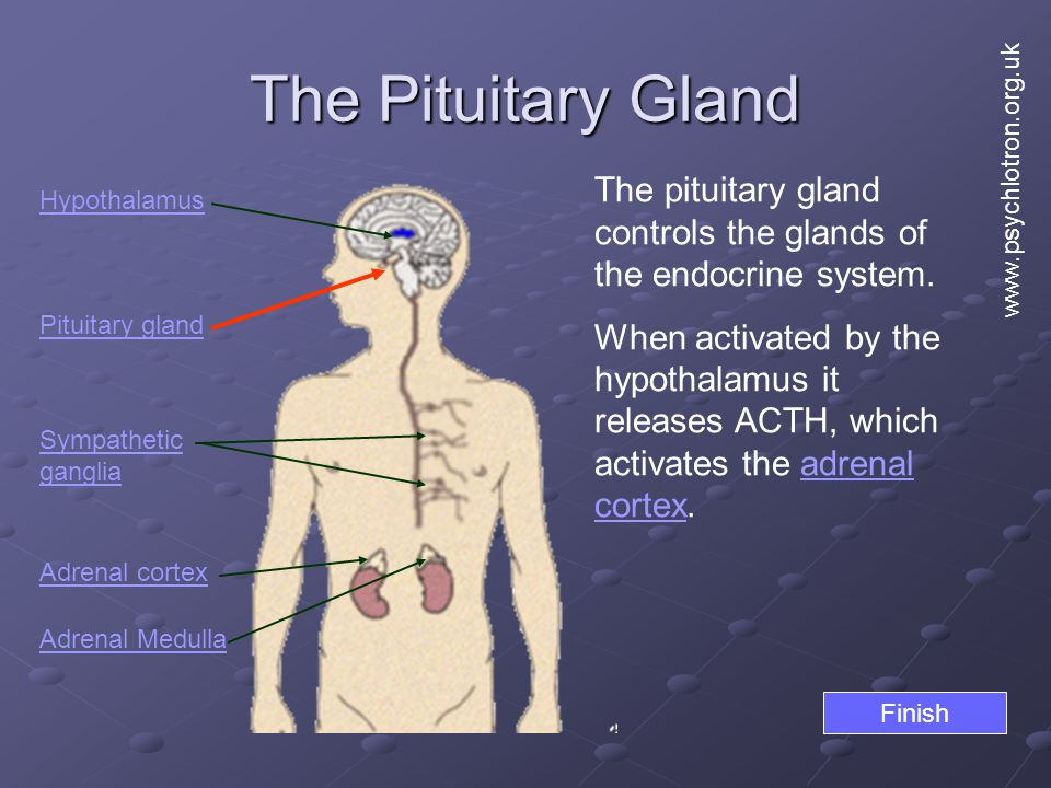 The Pituitary Gland www.psychlotron.org.uk. The pituitary gland controls the glands of the endocrine system.