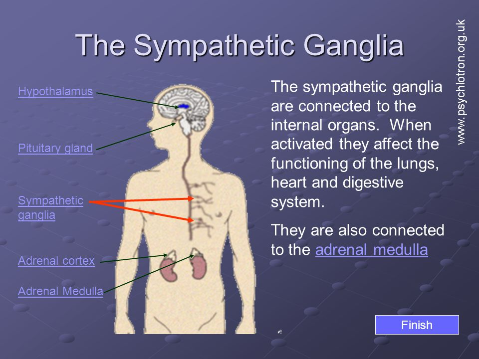 The Sympathetic Ganglia