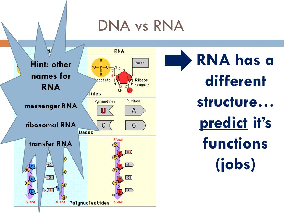 RNA has a different structure… predict it's functions (jobs)