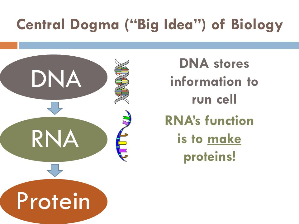 Central Dogma ( Big Idea ) of Biology