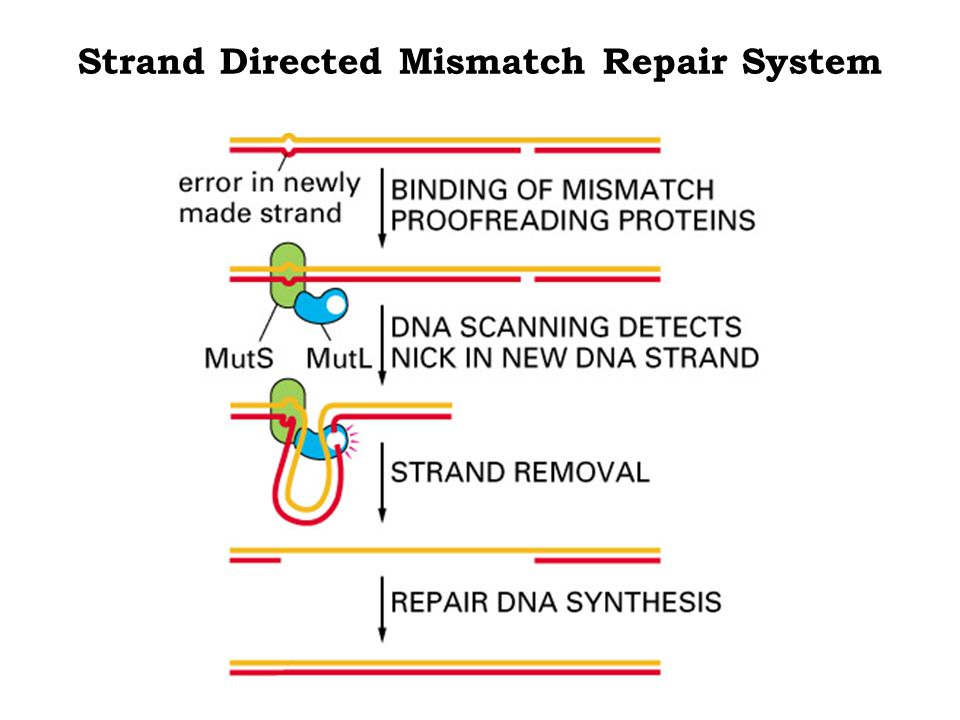 Strand Directed Mismatch Repair System
