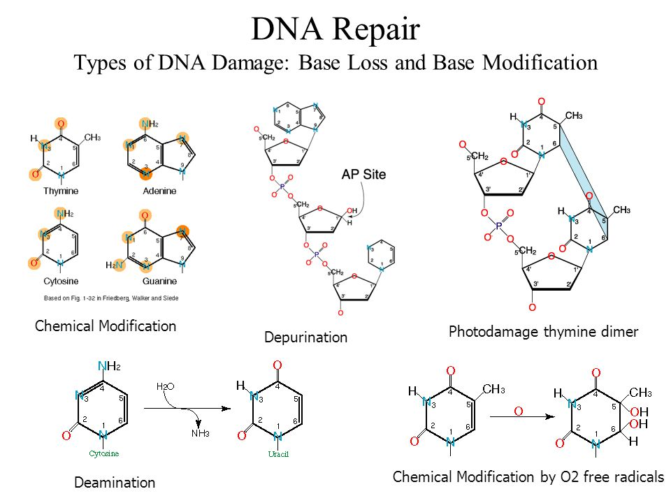 DNA Repair Types of DNA Damage: Base Loss and Base Modification