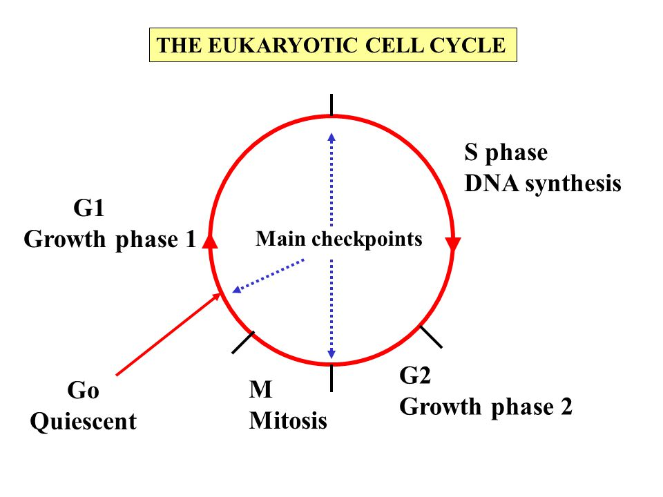 S phase DNA synthesis Growth phase 1 G2 Go M Growth phase 2 Quiescent