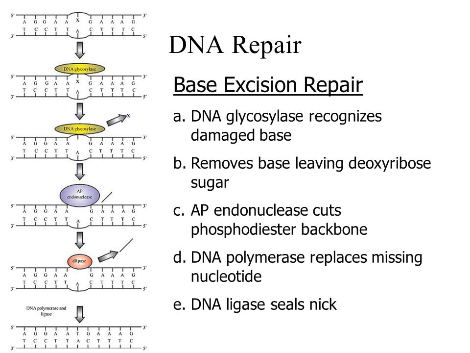 DNA Repair Base Excision Repair