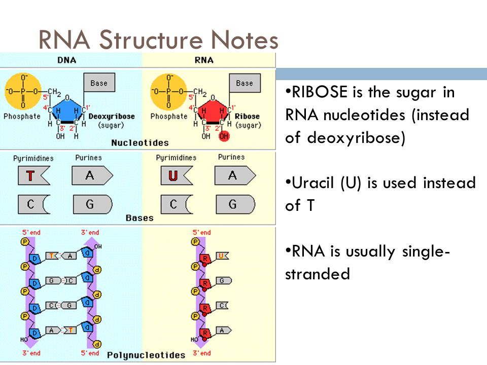 RNA Structure Notes RIBOSE is the sugar in RNA nucleotides (instead of deoxyribose) Uracil (U) is used instead of T.