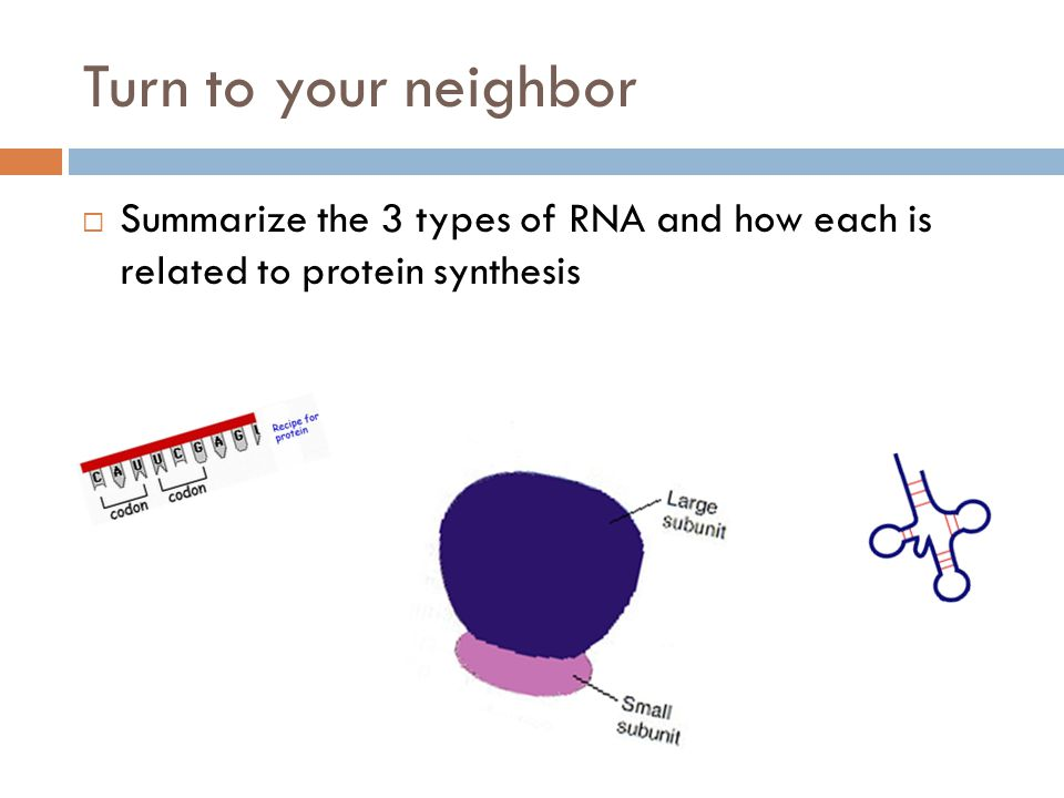 Turn to your neighbor Summarize the 3 types of RNA and how each is related to protein synthesis