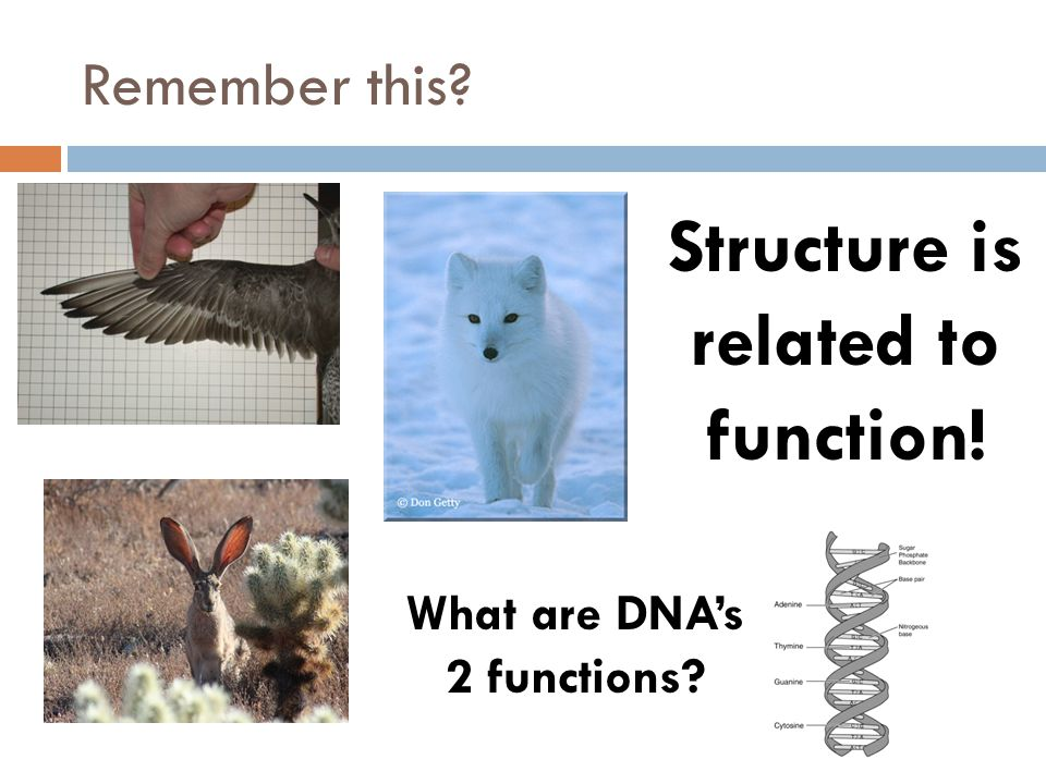Structure is related to function! What are DNA's 2 functions