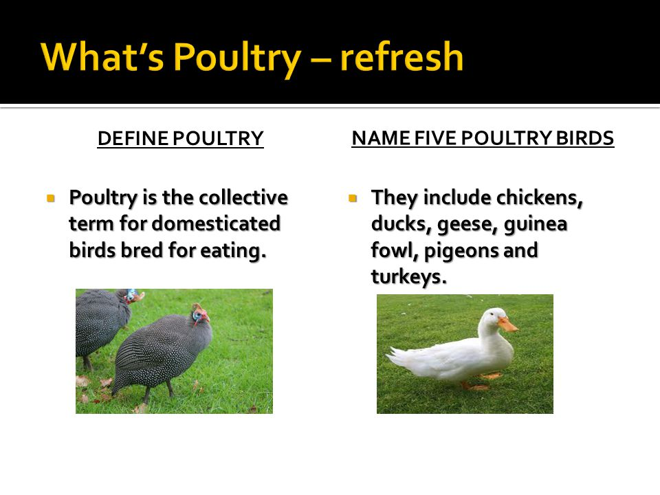 What's Poultry – refresh