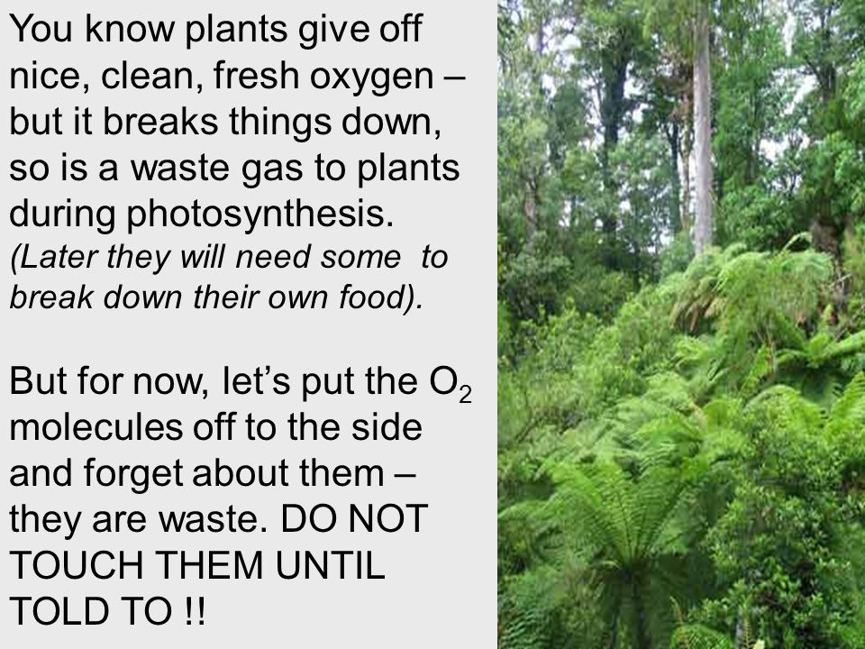You know plants give off nice, clean, fresh oxygen – but it breaks things down, so is a waste gas to plants during photosynthesis. (Later they will need some to break down their own food).