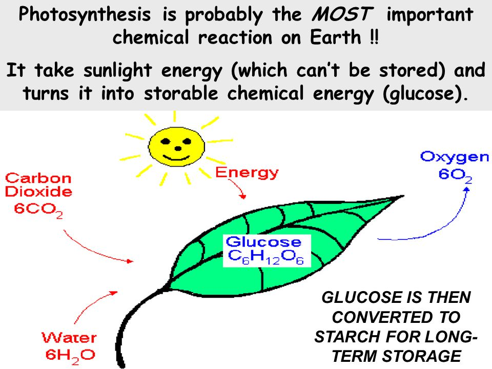 GLUCOSE IS THEN CONVERTED TO STARCH FOR LONG-TERM STORAGE
