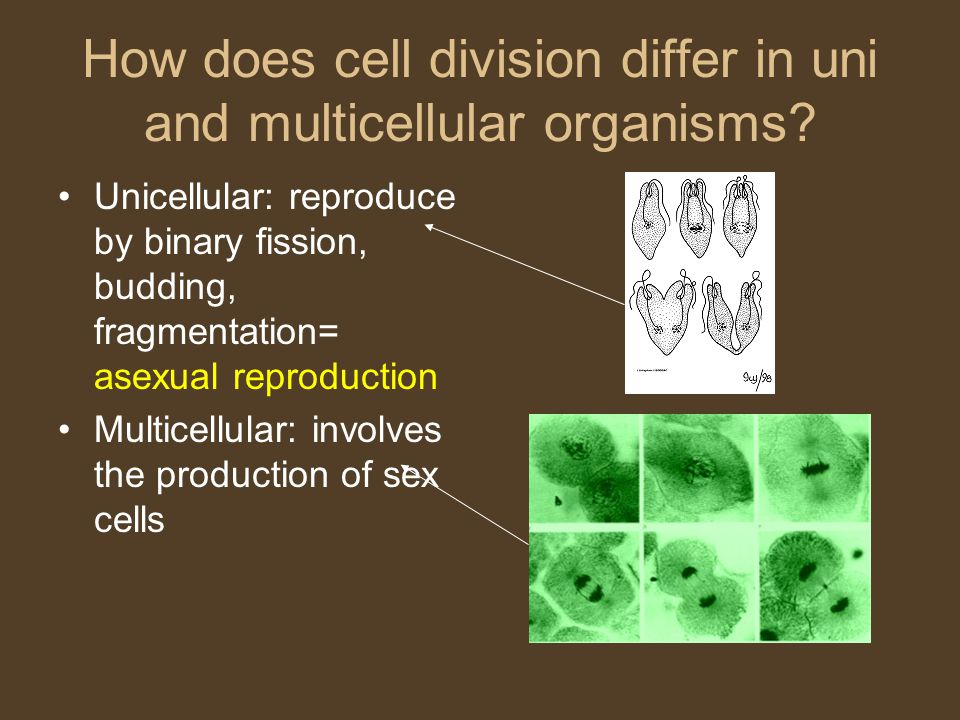 How does cell division differ in uni and multicellular organisms