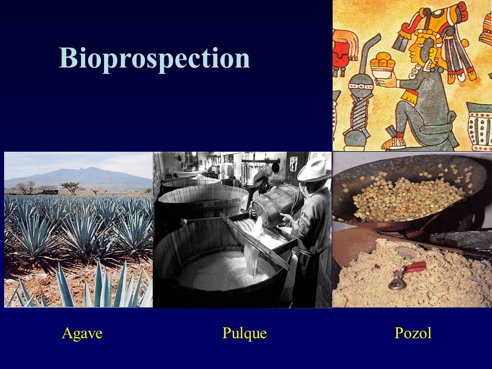 Bioprospection Agave Pulque Pozol 8