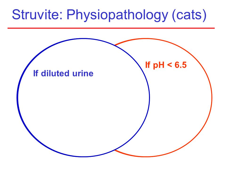 Struvite: Physiopathology (cats)
