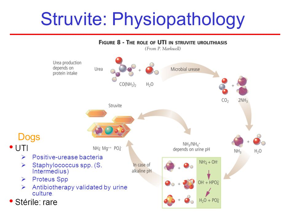 Struvite: Physiopathology