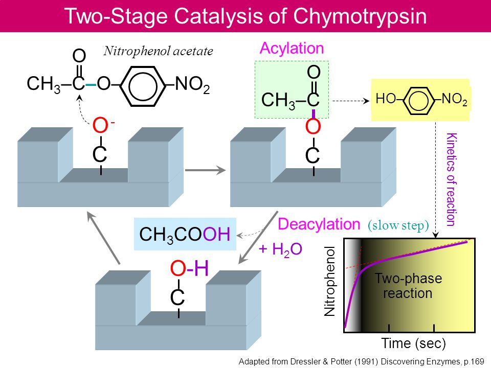 Two-Stage Catalysis of Chymotrypsin