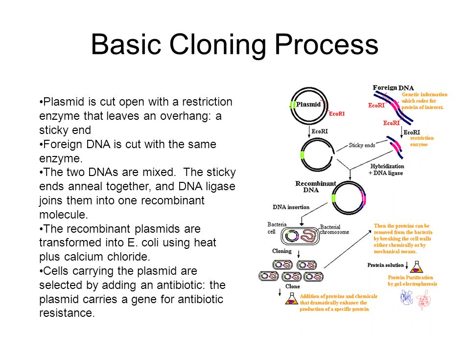 Basic Cloning Process Plasmid is cut open with a restriction enzyme that leaves an overhang: a sticky end.