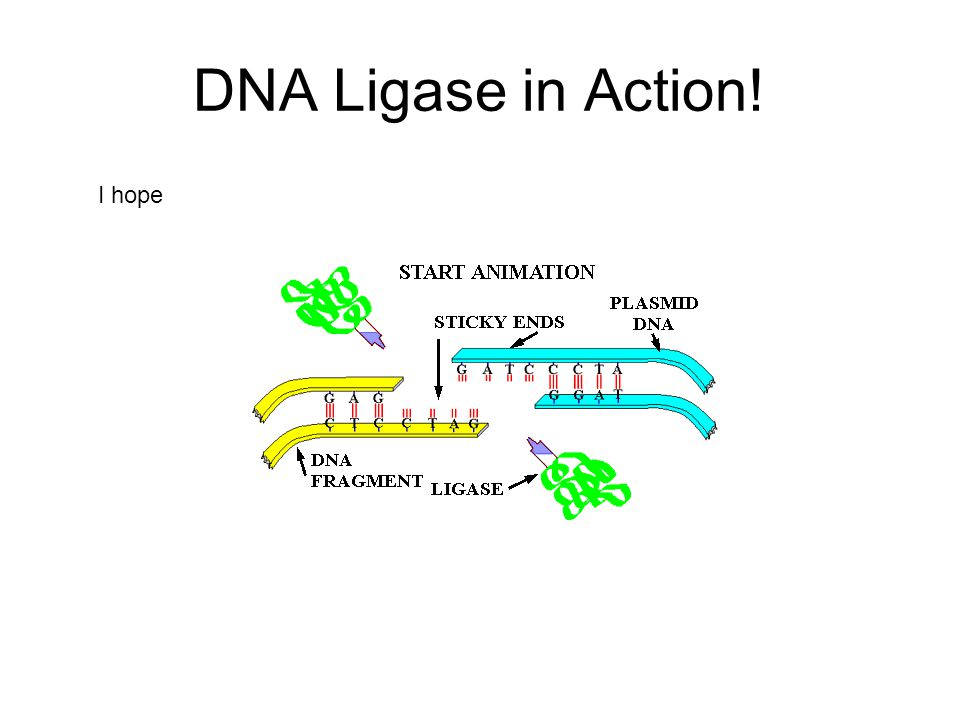 DNA Ligase in Action! I hope