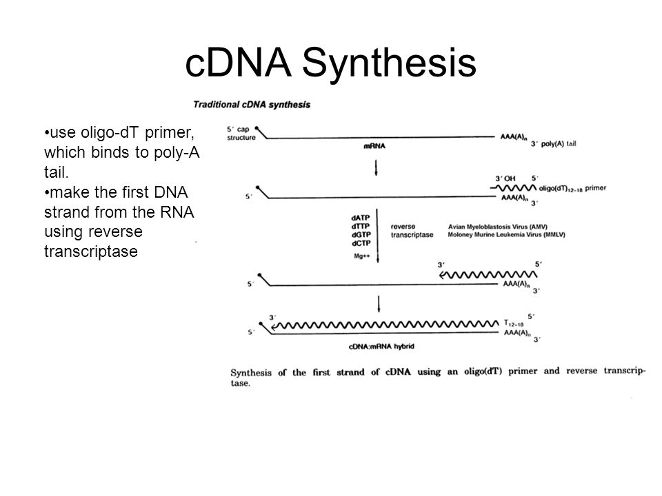 cDNA Synthesis use oligo-dT primer, which binds to poly-A tail.