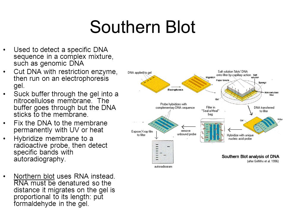 Southern Blot Used to detect a specific DNA sequence in a complex mixture, such as genomic DNA.