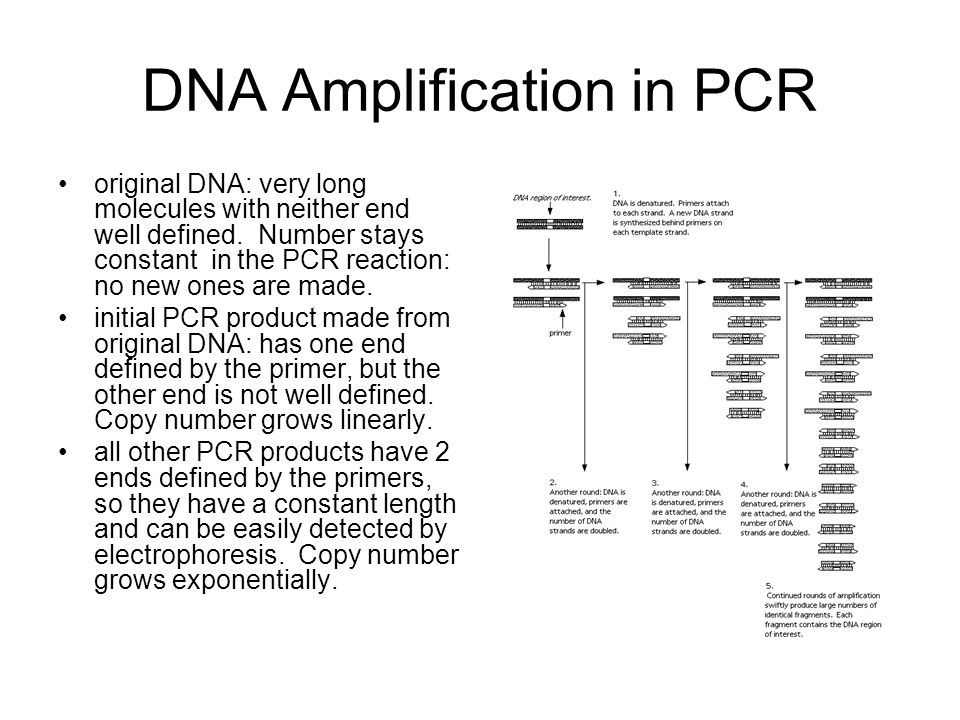 DNA Amplification in PCR