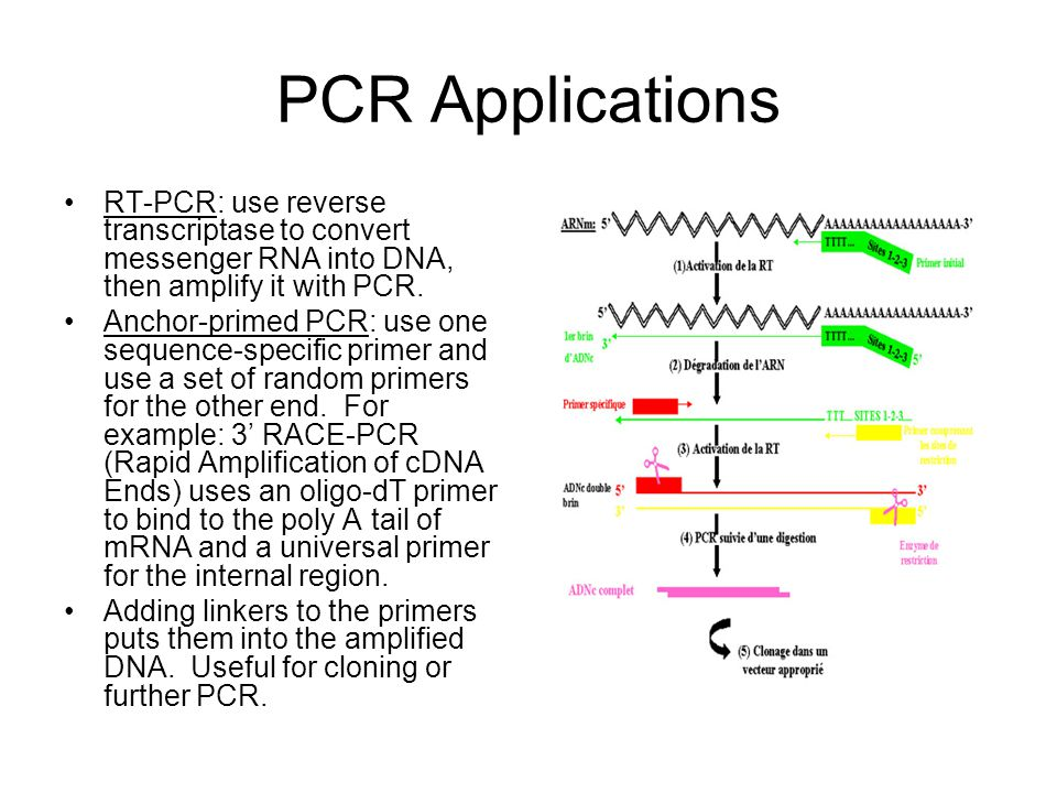 PCR Applications RT-PCR: use reverse transcriptase to convert messenger RNA into DNA, then amplify it with PCR.