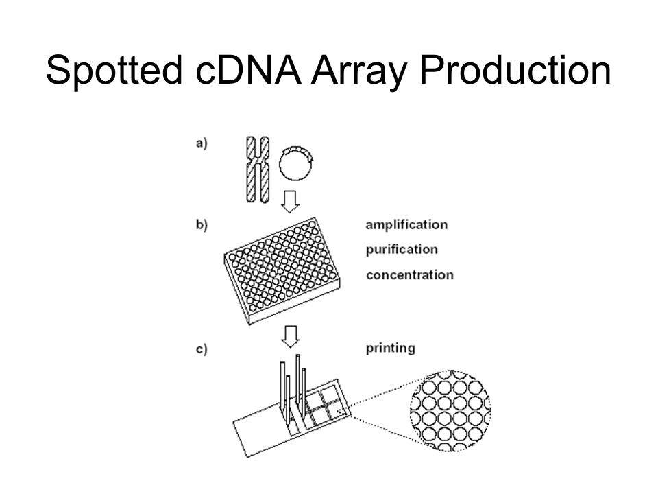 Spotted cDNA Array Production