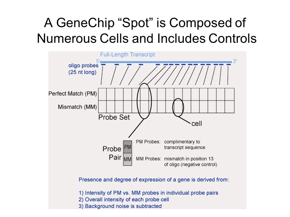 A GeneChip Spot is Composed of Numerous Cells and Includes Controls